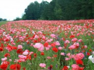 Field_of_Flowers.preview