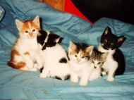 Litter_of_five_kittens_